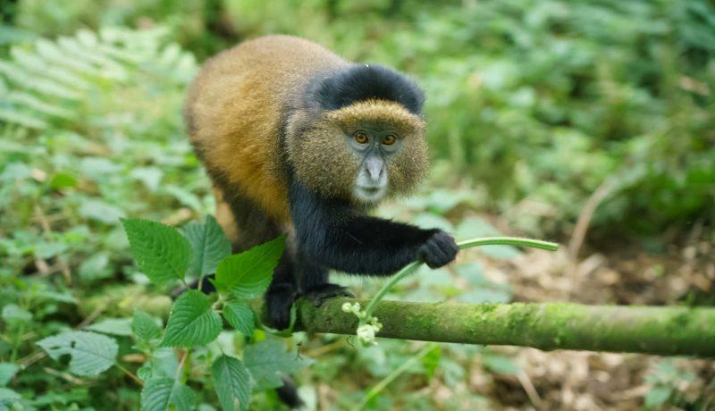Golden Monkeys 1